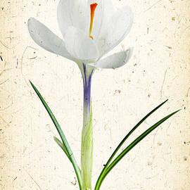 Elena Elisseeva - Crocus flower