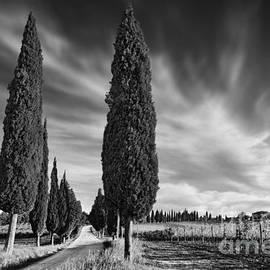 Rod McLean - Cypress Trees- Tuscany