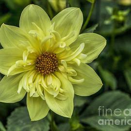 Shirley Mangini - Yellow Dahlia