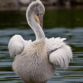 Kamen Ruskov - Dalmatian Pelican