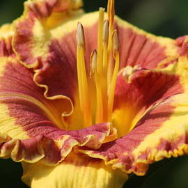 G Berry - Daylily Collection #1