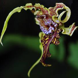 Winston D Munnings - Dendrobium Spectabile