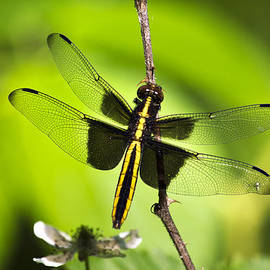 Christina Rollo - Dragonfly