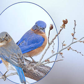 Bonnie Barry - Eastern Bluebird Pair