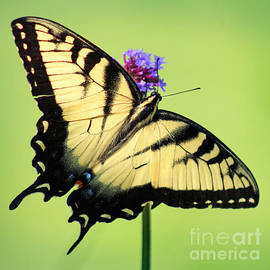 Karen Adams - Eastern Tiger Swallowtail Butterfly Square