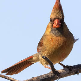 Ricky L Jones - Female Northern Cardinal