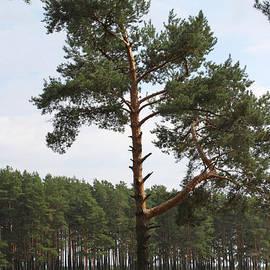 Evgeny Pisarev - Fine pine