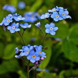 Bryan Hanson - Flower - Blue Foget Me Not