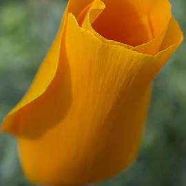 Mariola Szeliga - California Poppy