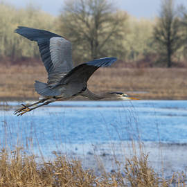 Angie Vogel - Great Blue Heron in Flight