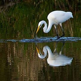 Dan Ferrin - Great Egret