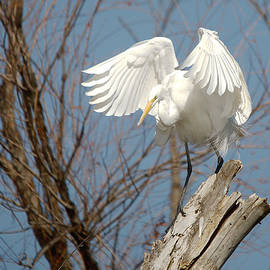 Roy Williams - Great Egret Windy Perch