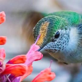 Lowell Monke - Hummingbird close-up2