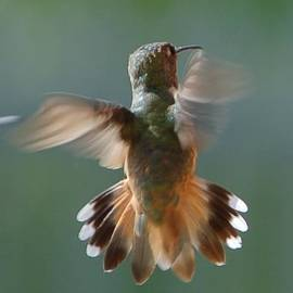 Linda Brody - Hummingbird Hovering