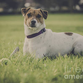 Project B - Jack Russell dog with ball at the park