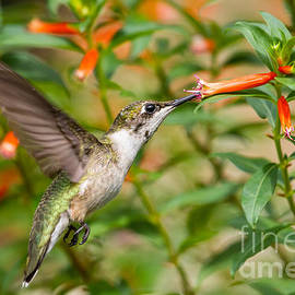 Dawna  Moore Photography - Juvenile Male Ruby-throated Hummingbird