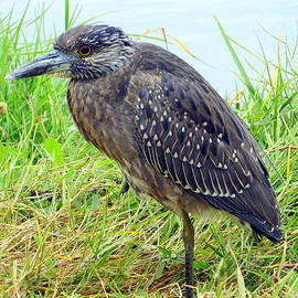 Dorothy Menera - Juvenile Yellow Crowned Night Heron