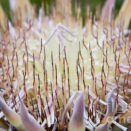 Sharon Mau - King Protea  - Protea cynaroides - Kula Maui Hawaii