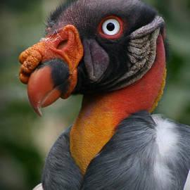 E B Schmidt - King Vulture