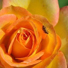 Gail Churinetz - Lady Bug Rose