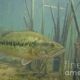 Engbretson Underwater Photography - Largemouth Bass in The Reeds