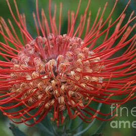 Sharon Mau - Leucospermum - Pincushion Protea - Tropical Sunburst Protea Flower Hawaii