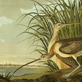 John James Audubon - Long Billed Curlew
