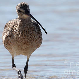 Meg Rousher - Long-billed Curlew
