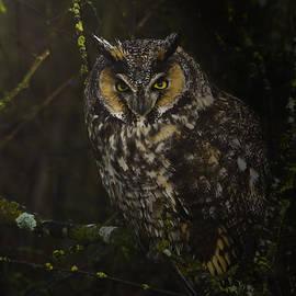 Rob Mclean  - Long eared owl