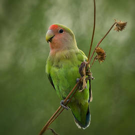 Lovely Little Lovebird