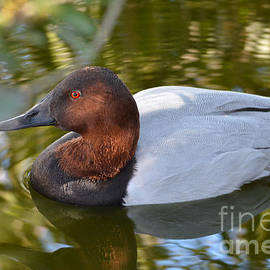 Kathy Baccari - Male Canvasback Duck