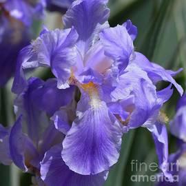 Fiona Craig - Mauve-Purple Irises 2 Closeup