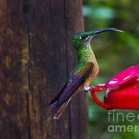 Al Bourassa - Mindo Hummingbird