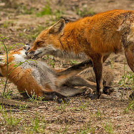 Steve Dunsford - Mother Fox Grooming her Kit