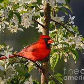 Nava  Thompson - Red Cardinal In Flowers