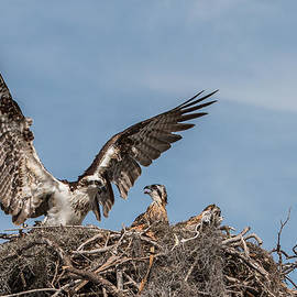 Patti Deters - Osprey Arriving Home
