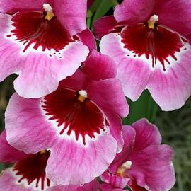 Allen Beatty - Pansy Orchid 1
