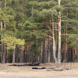 Evgeny Pisarev - Pine forest