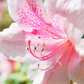 Parker Cunningham - Pink Azalea