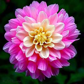 Nick Kloepping - Pink Dahlia