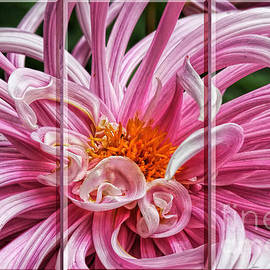 Shirley Mangini - Pink Dahlia Triptych