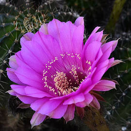 Saija  Lehtonen - Pink Easter Lilly Cactus
