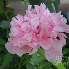 Charlotte Gray - Pink Peony