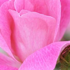 Regina Geoghan - Pink Rosebud