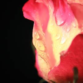 Lali Kacharava - Pink Tea rose