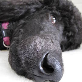 Jennifer Schwab - Poodle Close-Ups 1