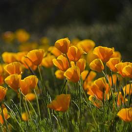 Saija  Lehtonen - Poppy Fields Forever