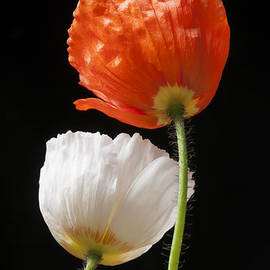 Elena Elisseeva - Poppy flowers on black