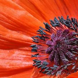 Bruce Bley - Poppy Up Close
