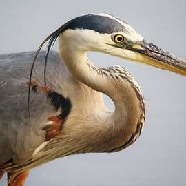 Paulette Thomas - Portrait of a Great Blue Heron